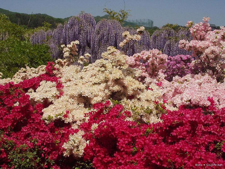 Парк цветов Асикага