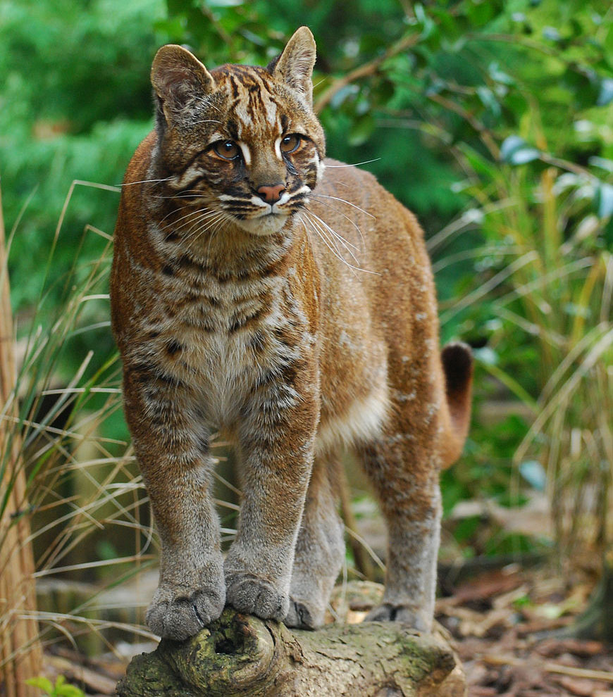 дикие кошки фото и названия в природе этом заболевании